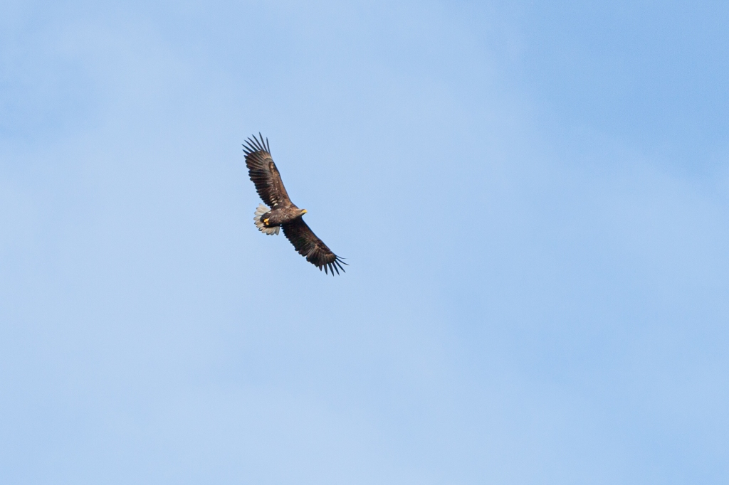 1st week in Lohja, escaping coronavirus, White-tailed Eagle