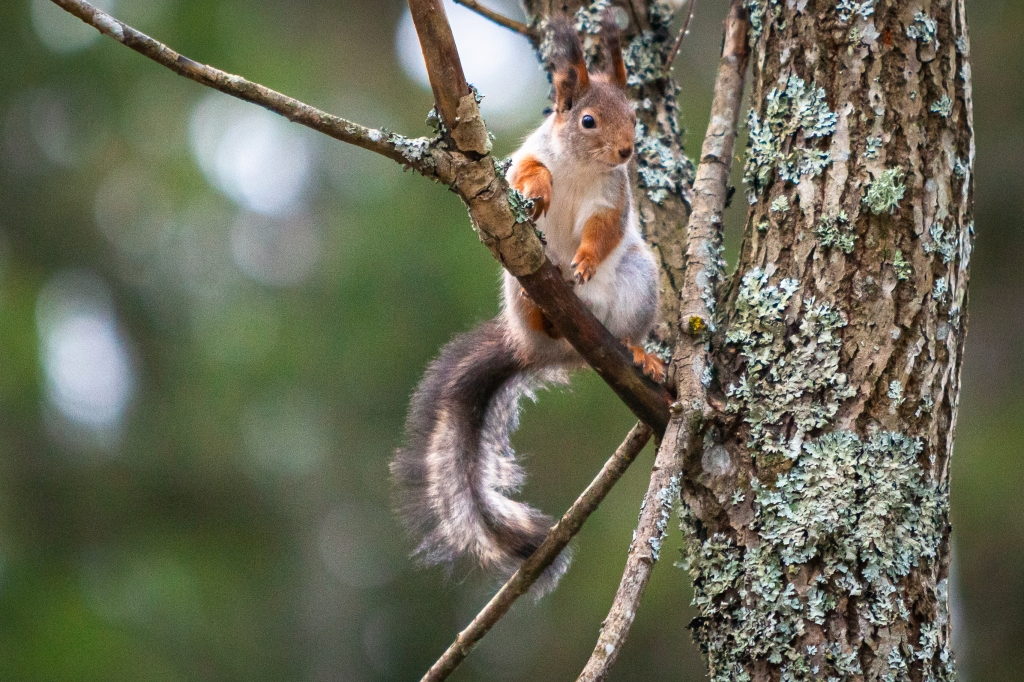 1st week in Lohja, escaping coronavirus, a squirrel