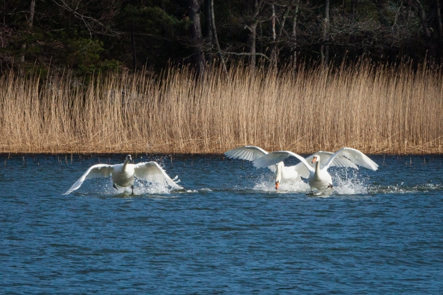 Spring in the air - fighting swans