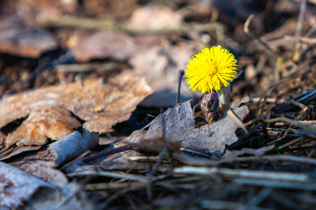 1st week in Lohja, escaping coronavirus, Coltsfoot