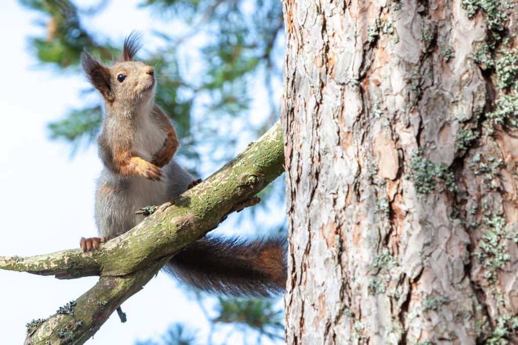 Finnish pine squirrel 25.3.2020 no 1