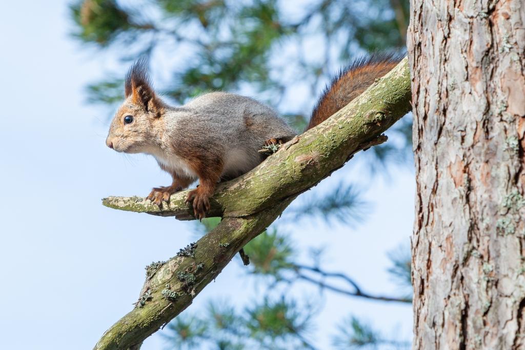 Finnish pine squirrel 25.3.2020 no 3