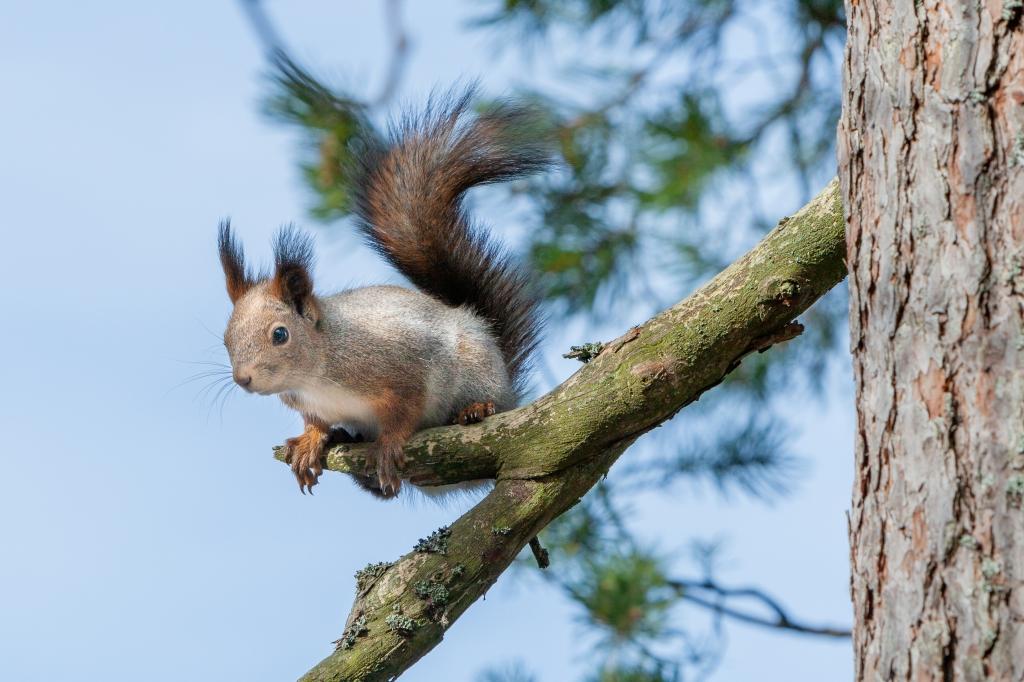 Finnish pine squirrel 25.3.2020 no 2