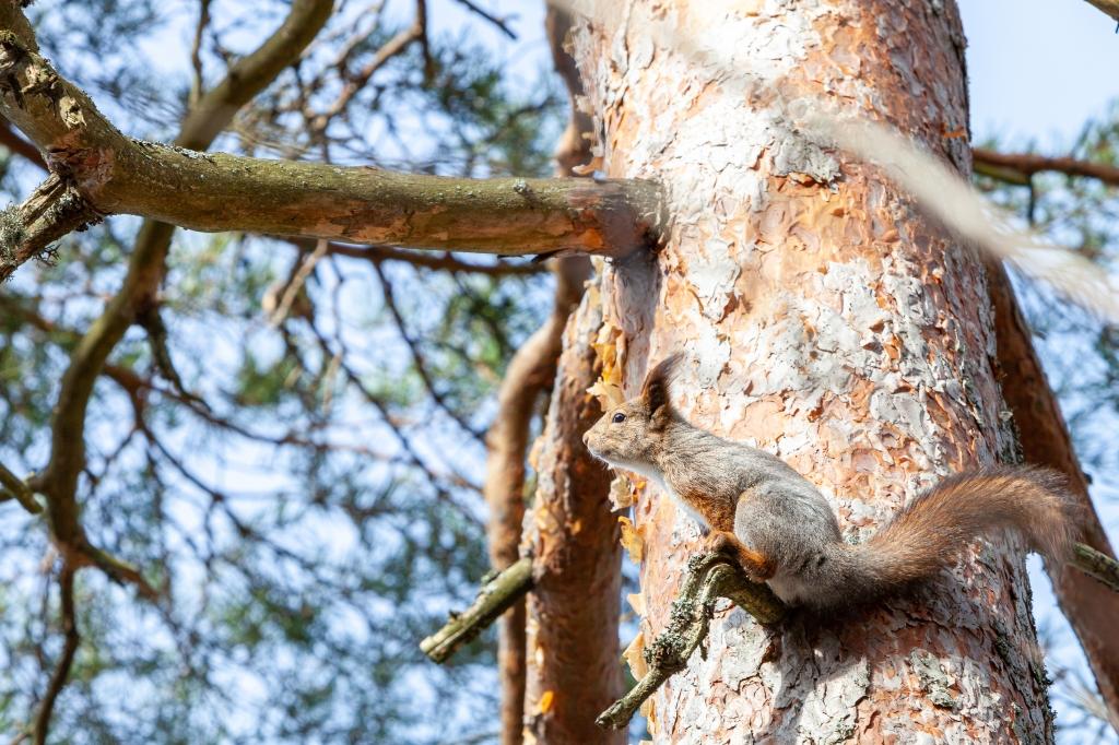 Finnish pine squirrel 25.3.2020 no 5