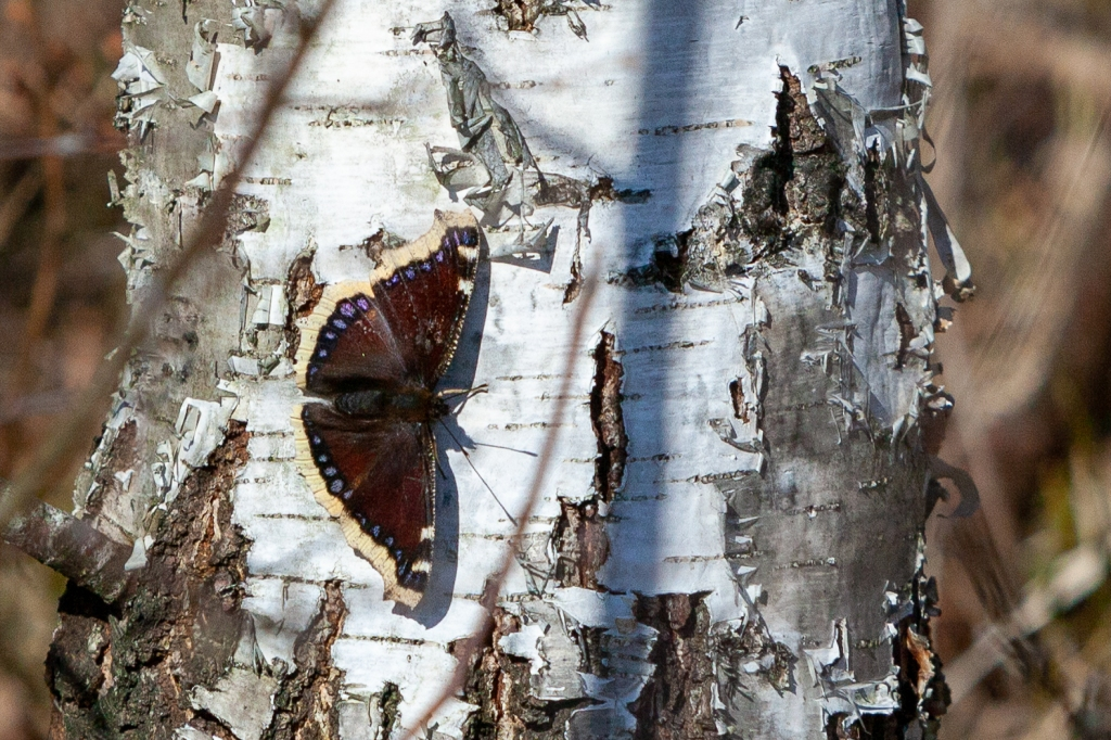 Mourning cloak Lohjansaari 28.3.2020 @ Minna Jacobson