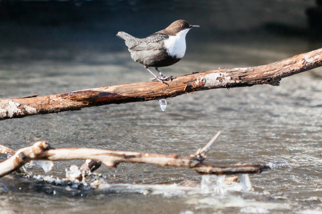 White-Throated dipper, Hyvinkää, Finland