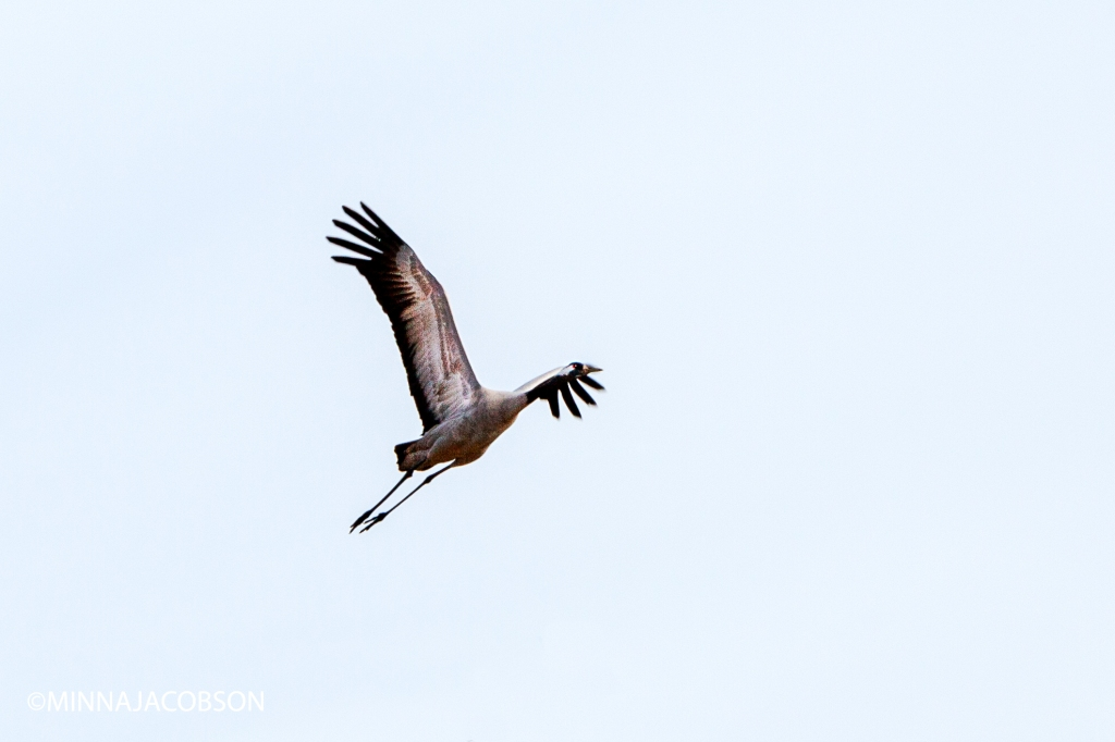 Flying crane, Lohja 25.3.2020, Crane, the proud king of the swamps