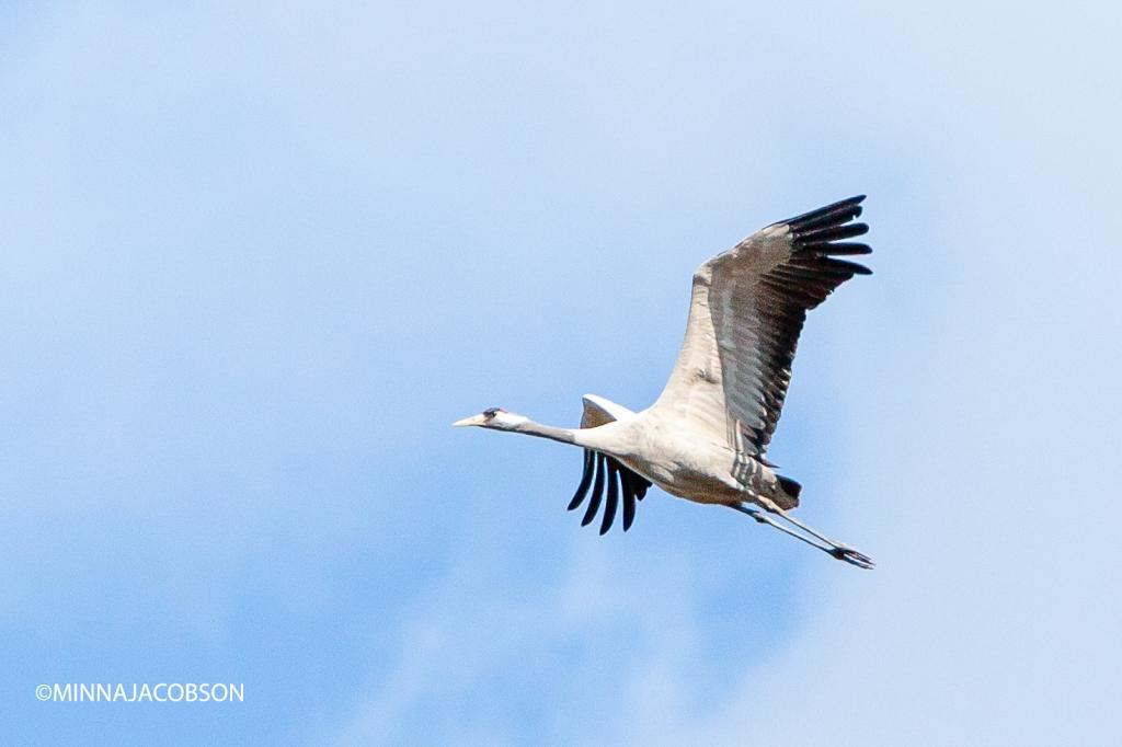 Flying crane Lohjansaari 28.3.2020, Crane, the proud king of the swamps