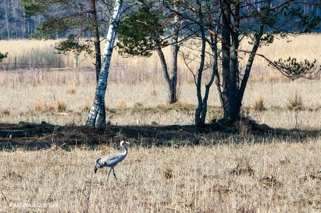 Feeding crane 7.4.2020 Kopparnäs, Crane, the proud king of the swamps