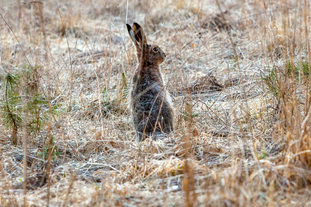 Sitting brown hare, Lohja Finland, rusakko istuu