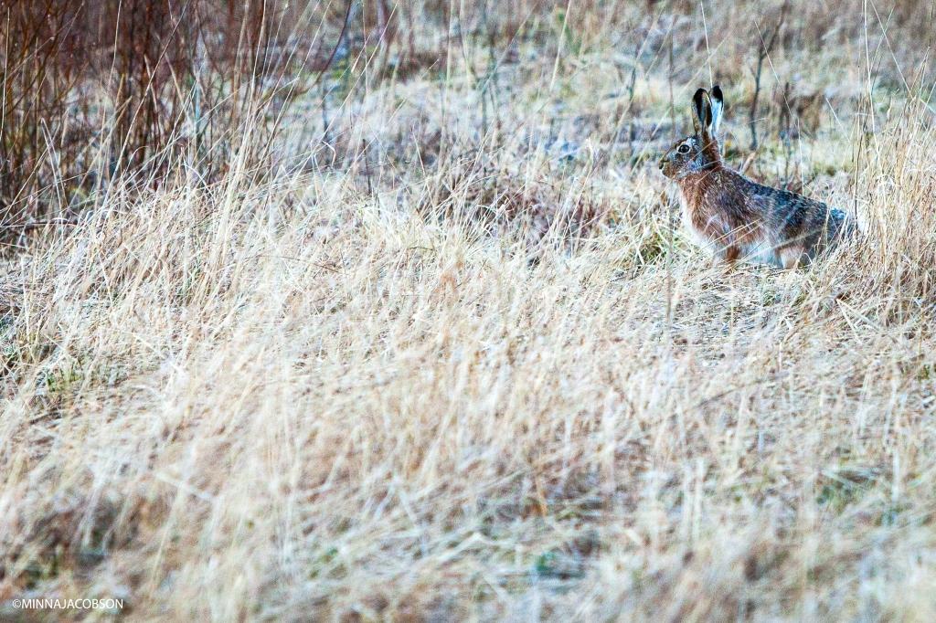 Hiding brown hare, Lohja Finland, rusakko piilossa