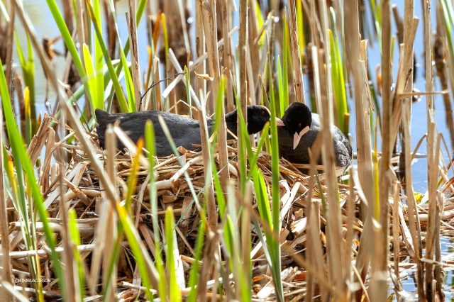 Love in the nest, Eurasian Coot, Finland