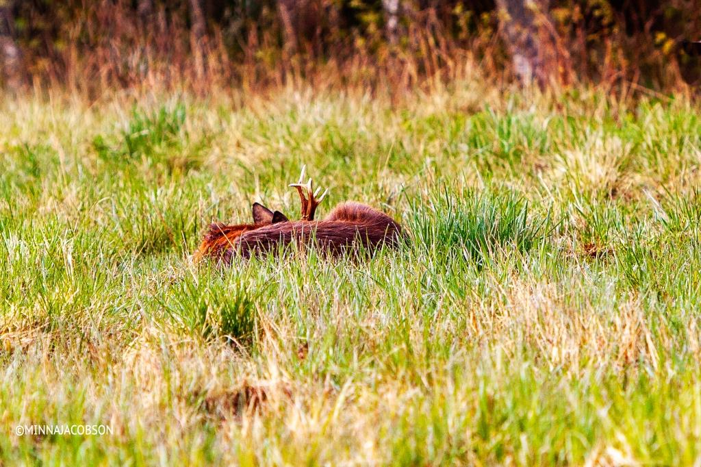 Sleeping white-tailed deer, Lohja Finland