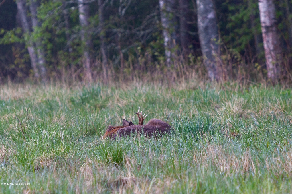 Sleeping white-tailed deer Lohja, Finland