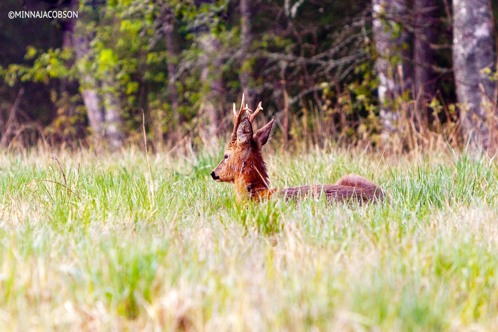 The Roe deer sleeping on a field, Lohja, Finland
