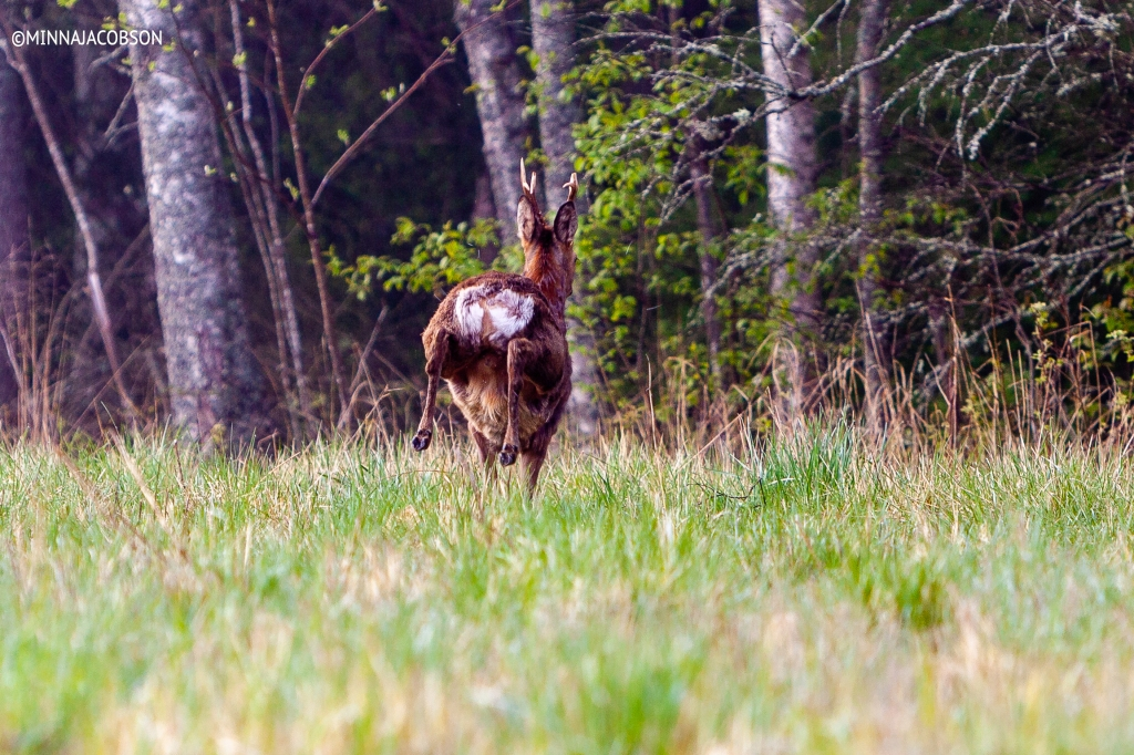 The Roe deer escaping Lohja, Finland