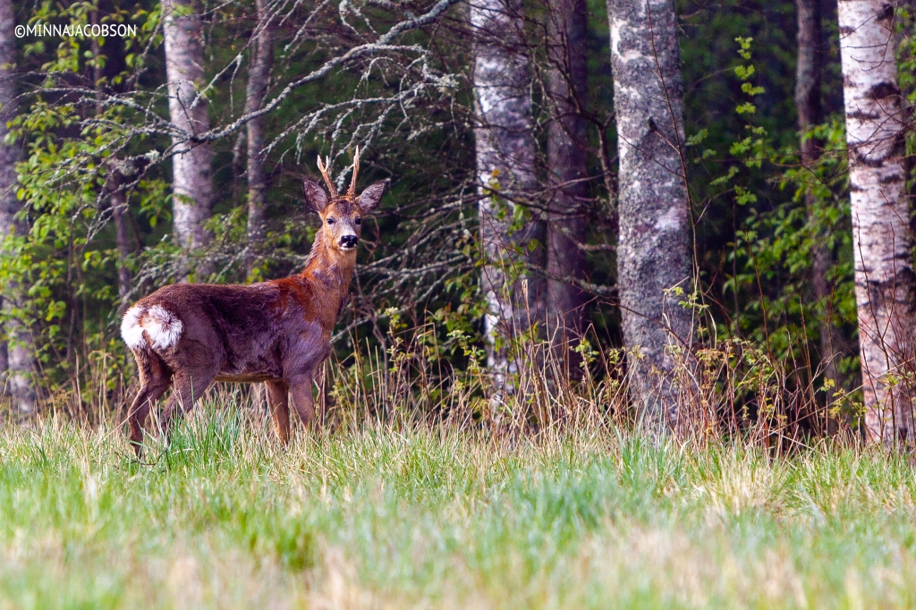 The Roe deer staring Lohja, Finland