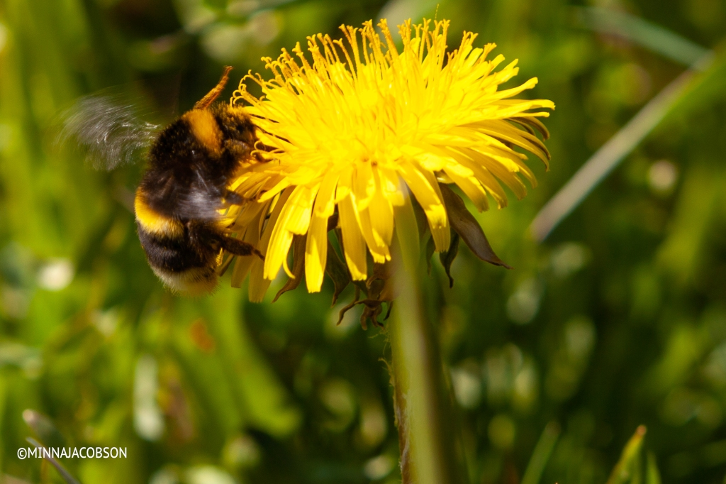 Bumblebee in a dandelion, Lohja Finland 22.5.2020