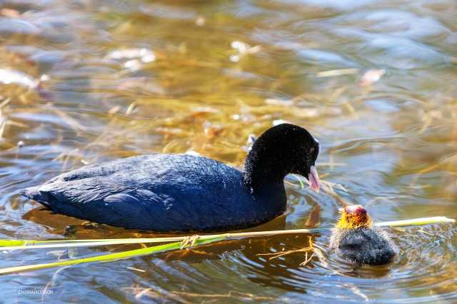 Eurasian Coot with new hatched chick, Nokikanan poikanen, Finland