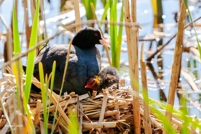 Eurasian Coot parent and chick in a nest, Finland