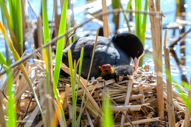 Eurasian Coot parent caring for the chick