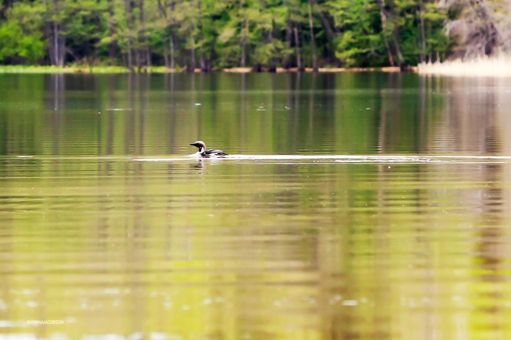 Black-throated loon (kuikka) Lohjanjärvi Finland