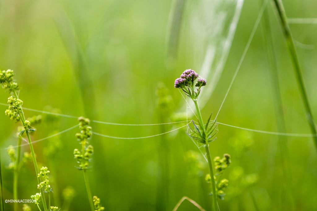 Spider web attached to the flower, Lohja Finland