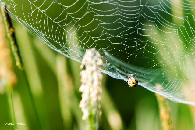 Spider waiting for a catch in its web, Lohja Finland
