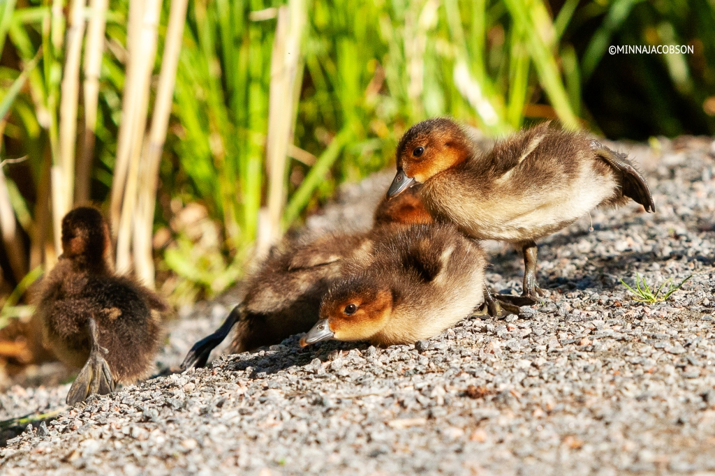 Eurasian Wigeon chicks stretching legs, Haapanan poikaset Lohja Finland 2020