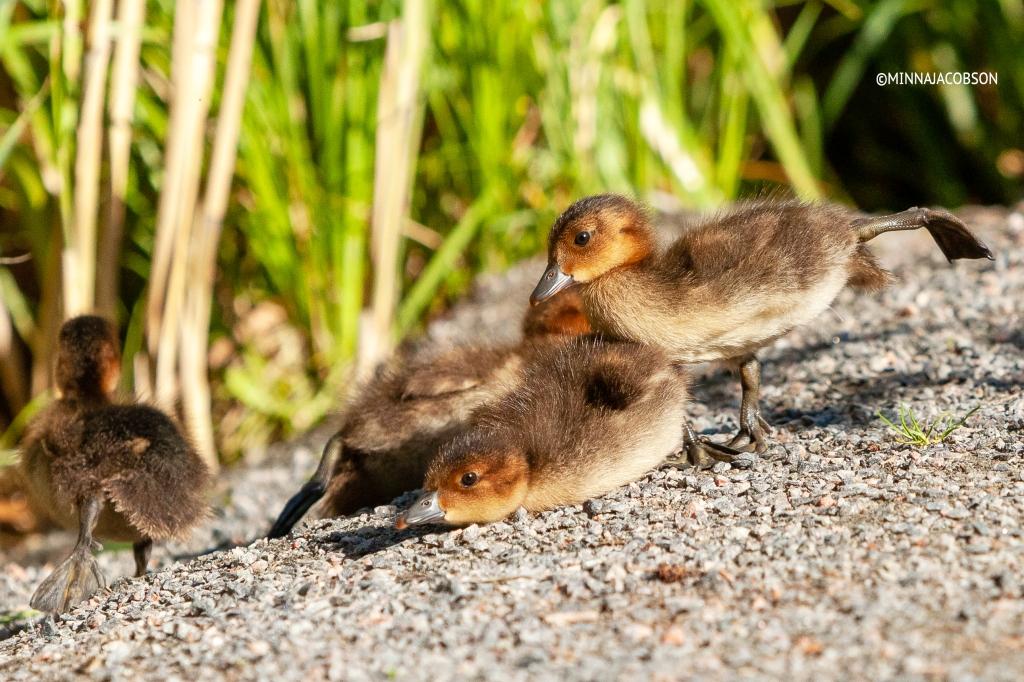 Eurasian Wigeon chicks stretching legs, Haapanan poikaset Lohja Finland 2020 copyright Minna Jacobson