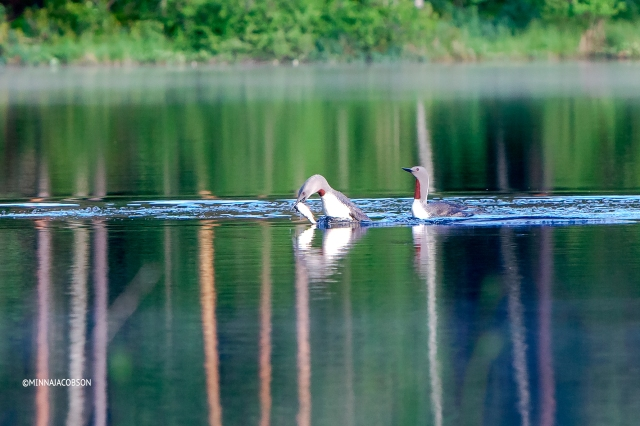 Red-throated Loon returning to the bond with a fish for the young