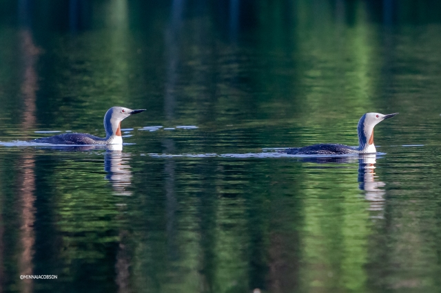 Red-throated Loon couple, Lohja, Finland