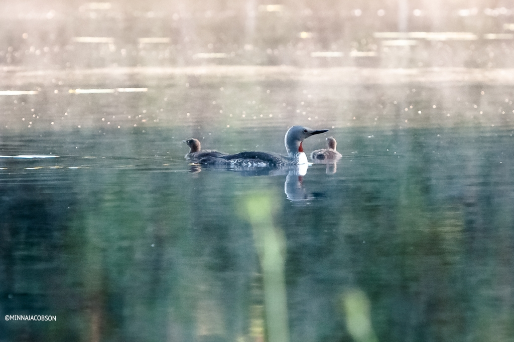 Red-throated Loon chicks with their parent (14.7.2020), Lohja, Finland