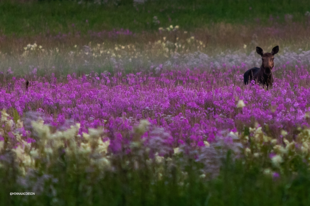Female moose in a fireweed field