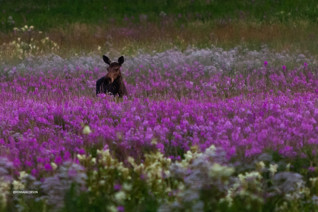Female moose in a fireweed field at 11 pm 14.7.2020