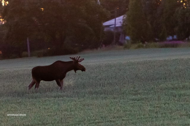 Male moose in a wheat field, Siuntio Finland
