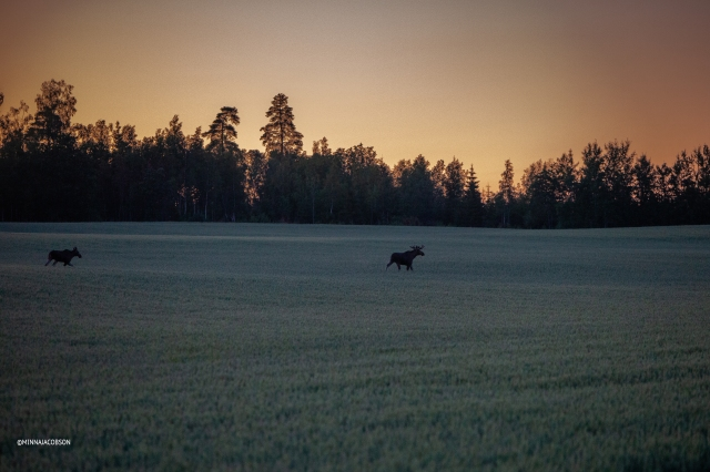 Moose couple in a sunset, Siuntio Finland