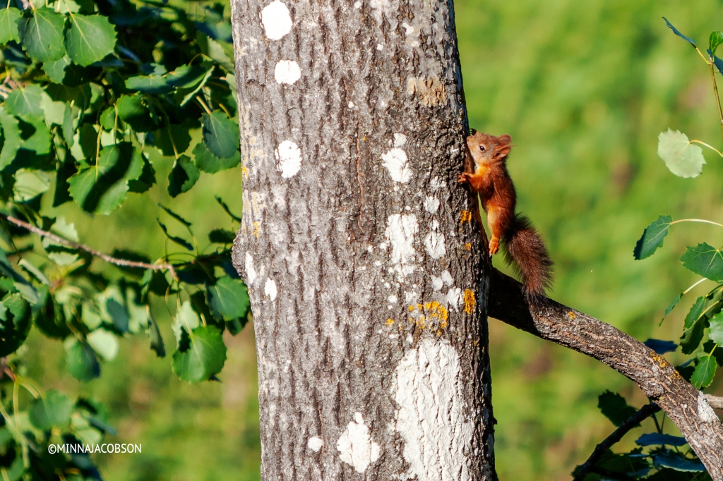 Climbing baby squirrel, Finland