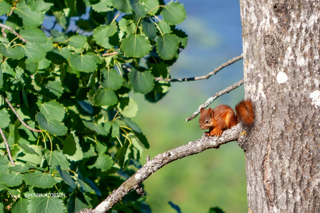Sleepy baby squirrel on a branch, Finland