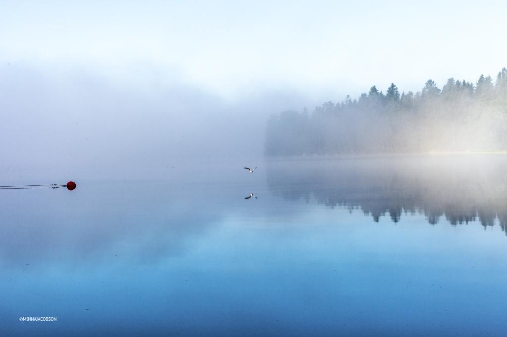 Black-headed gull in a misty lake, Lohjanjärvi Lohja Finland