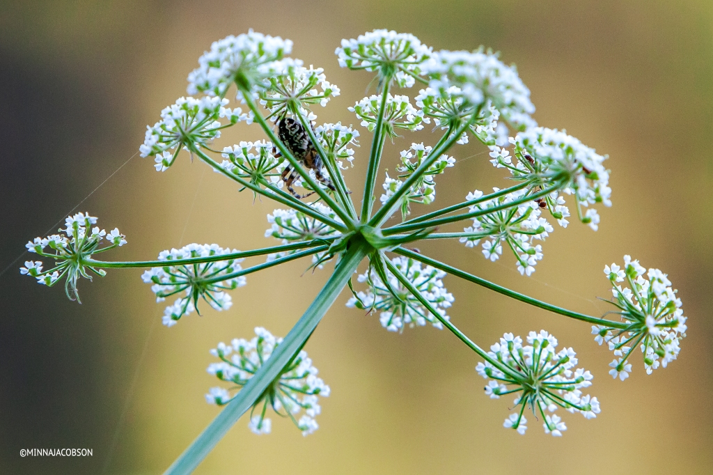 Spider and ants in Cow parsley / Koiranputki (Anthriscus sylvestris)