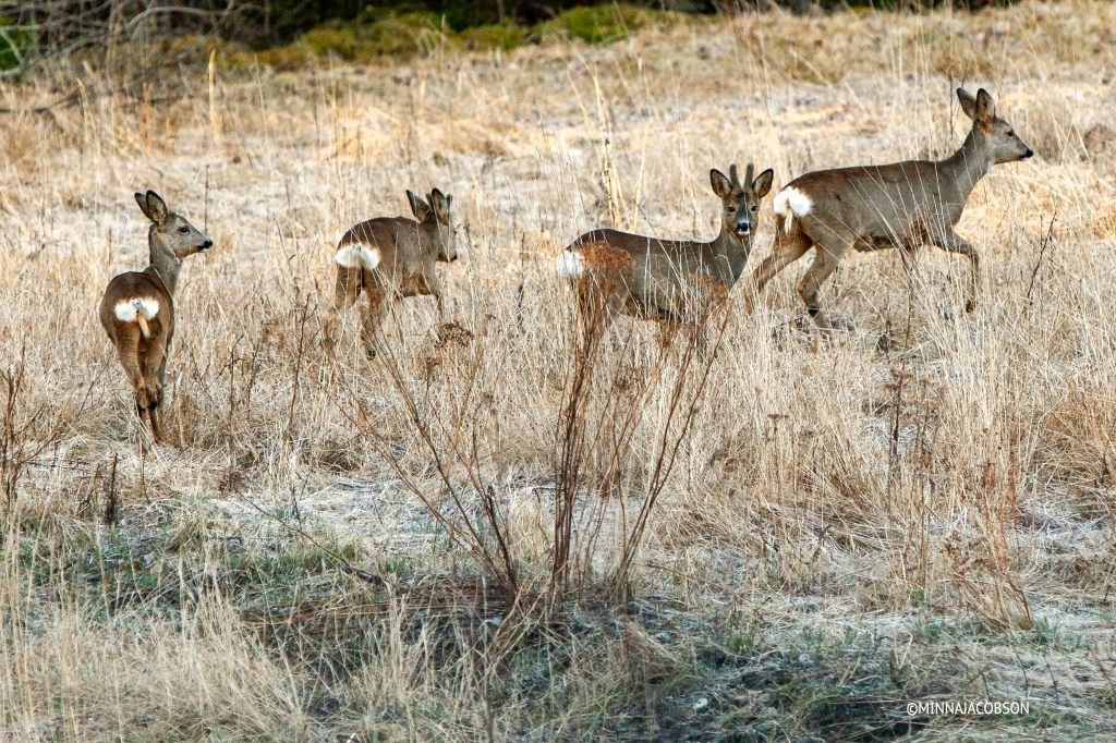 Female Roe deer with triplets, three Roe deer calves, Finland metsäkauris