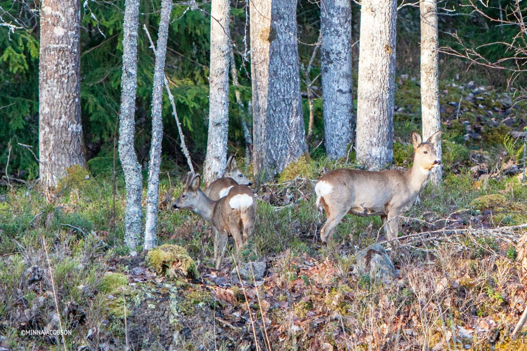 Female Roe deer in forest with two calves Finland