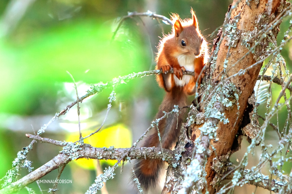 Baby squirrel in a tree Lohja Finland, pine squirrel