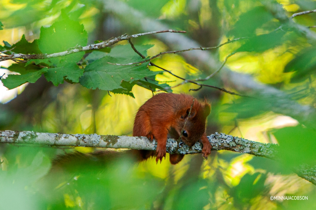 Baby pine squirrel in a hazel, Lohja Finland
