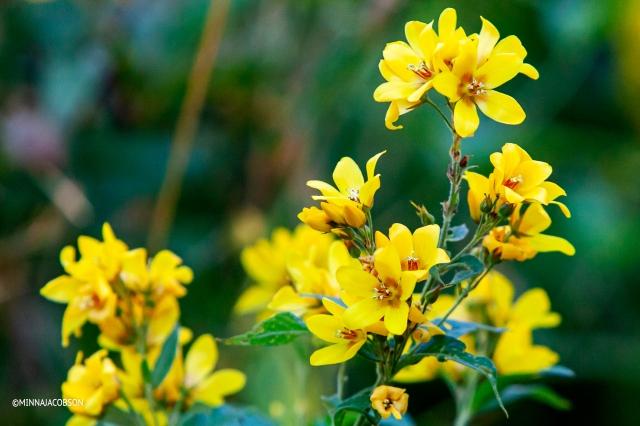 Yellow Loosestrife / Lysimachia vulgaris / Ranta-alpi, Lohja Finland