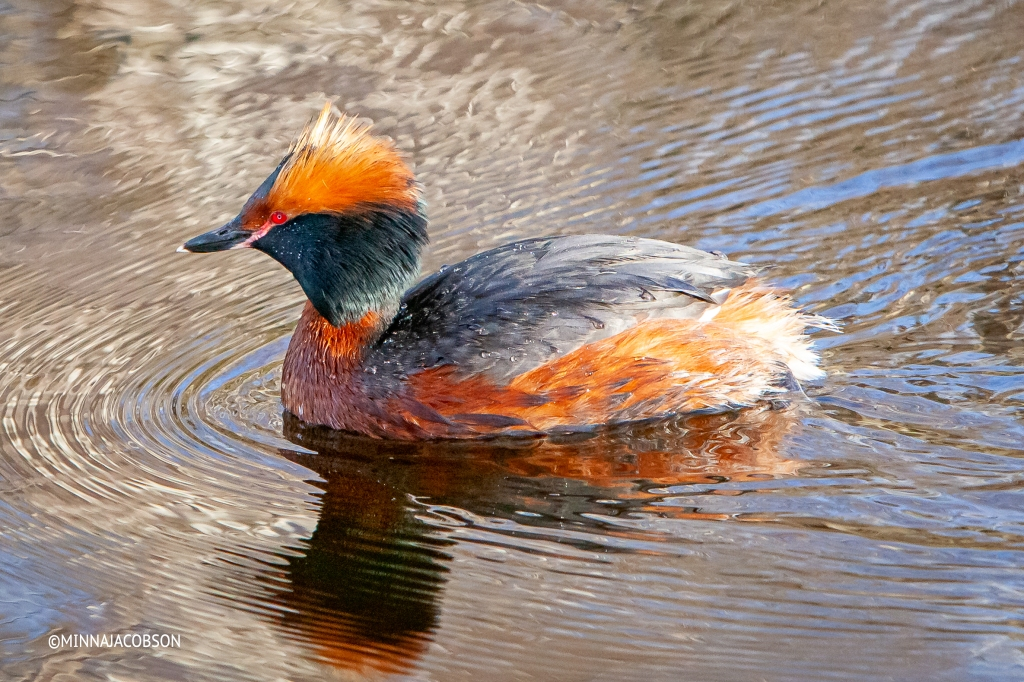 Slavonian Grebes head is black with distinctive bright orange crests behind each eye