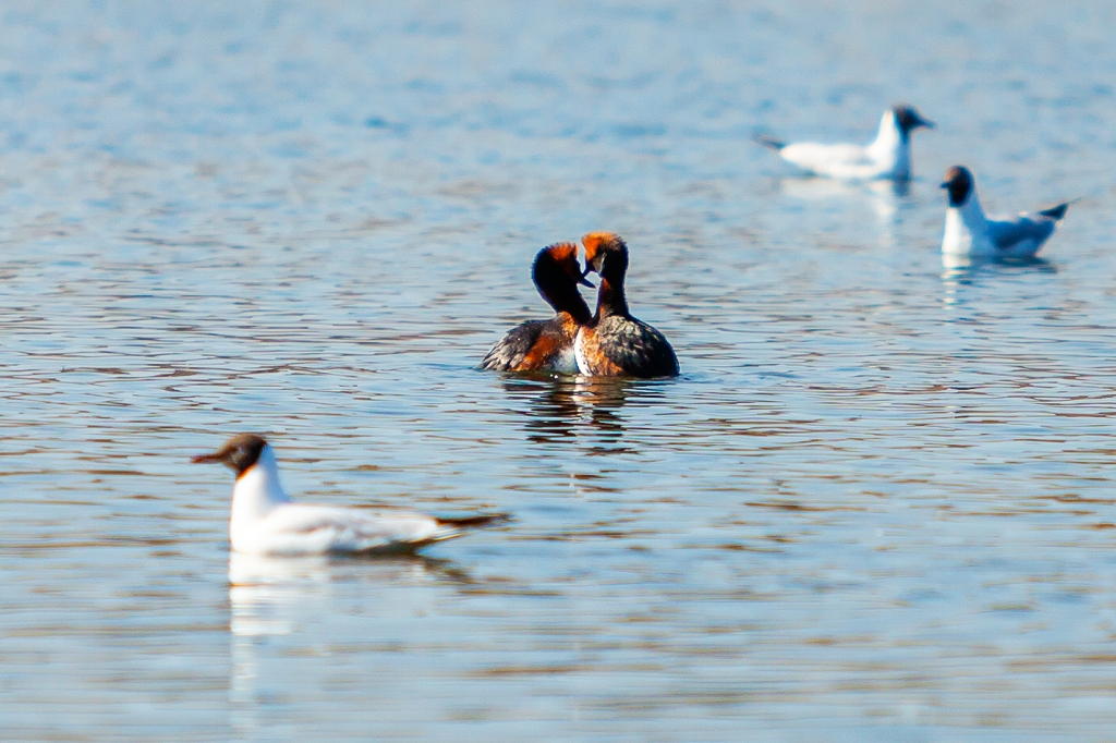 Slavonian Grebes mating rituals, Finland