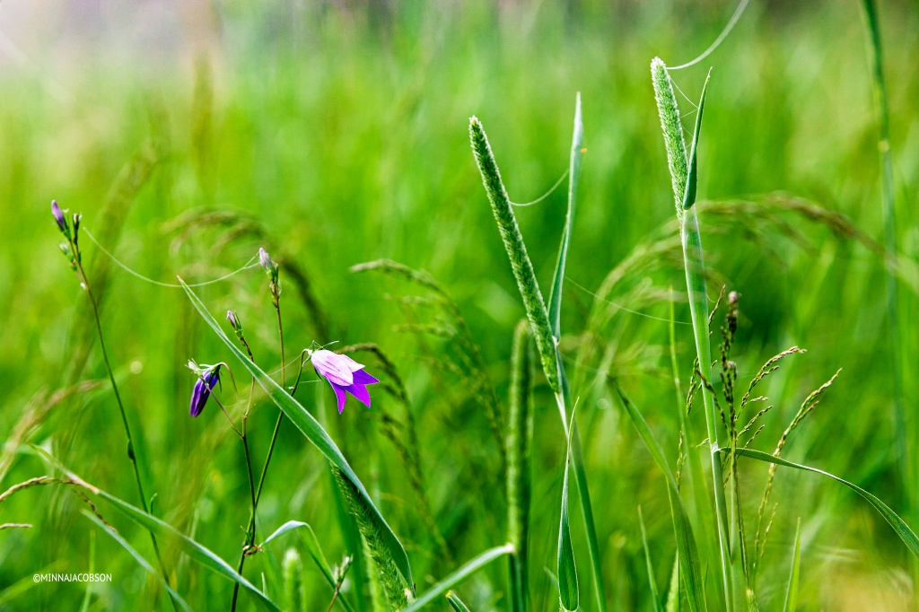 Harebells / Kissankellot (Campanula rotundifolia)