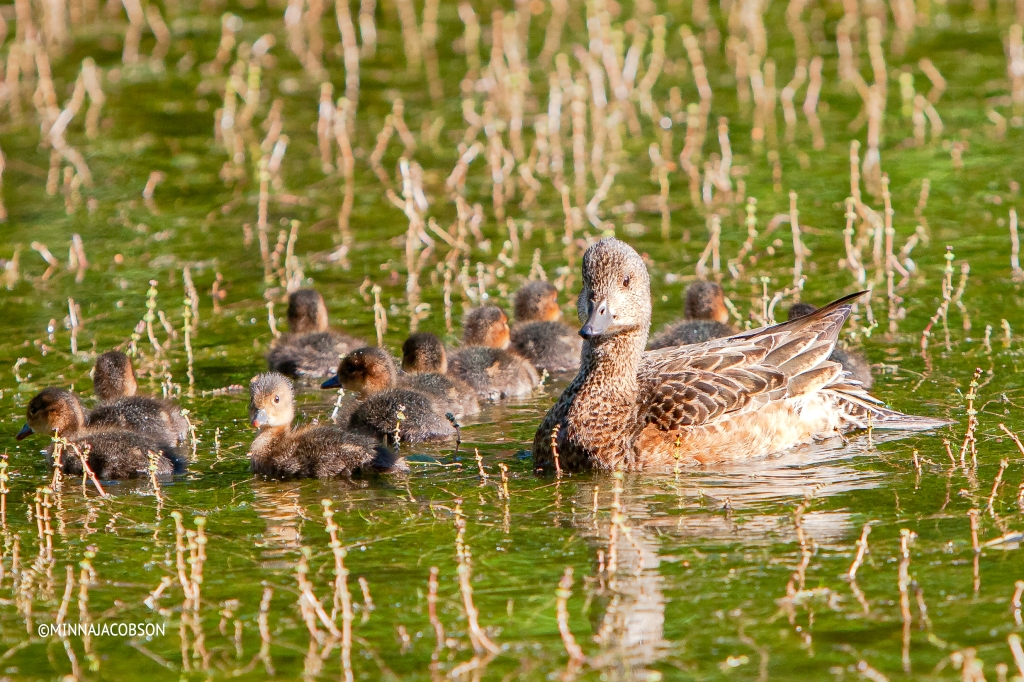 Wigeon female with 10 ducklings Porla Lohja Finland
